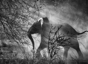 Salgado elephant