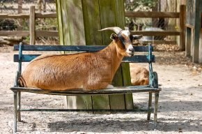 Under the bench the goat dies: Italian tongue twisters Part1