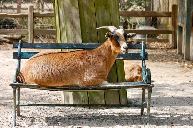 GOAT_ON_THE_BENCH_by_Photography_by_Image
